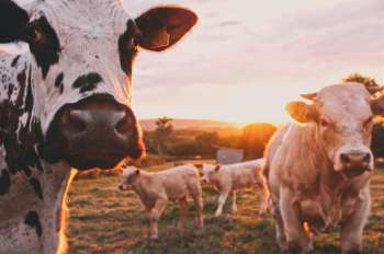 Image of happy cows on a farm